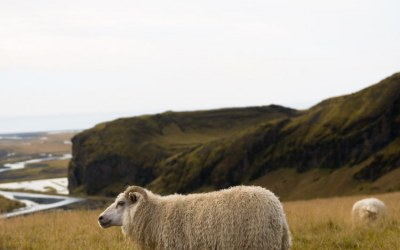 8 Things You Should Know About Organic Sheep